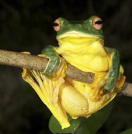 Black-webbed Flying Frog