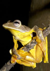 Red-webbed Flying Frog