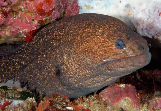 Lowfin Moray, Gymnothorax porphyreus