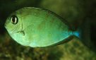 Sleek Unicornfish - juvenile