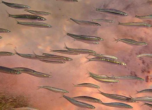 Smallscale Hardyheads schooling