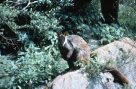 Brush-tailed rock-wallaby at Jenolan Caves