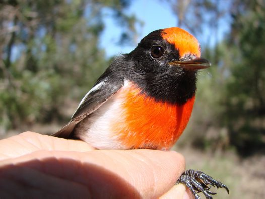Red-capped Robin in the hand.