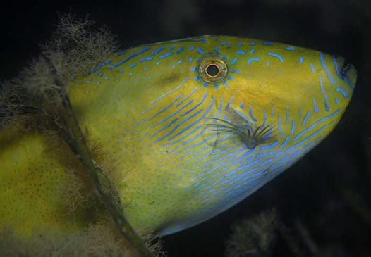Spinytail Leatherjacket, Acanthaluteres brownii