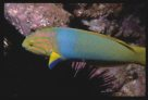 Green Moon Wrasse at Fish Rock