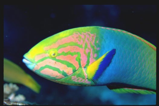 Green Moon Wrasse at South Solitary Island
