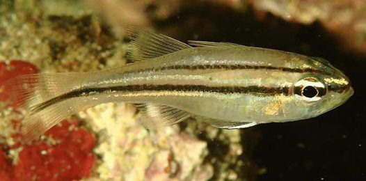 Striped Cardinalfish, Ostorhinchus fasciatus