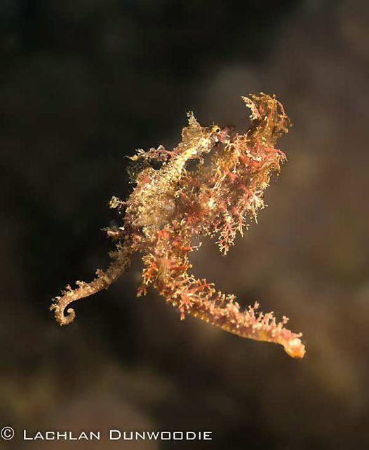 Sydney's Pygmy Pipehorses mating