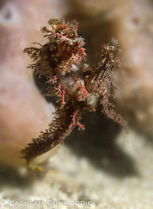 Sydney's Pygmy Pipehorses - mating pair