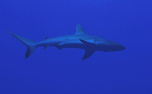 Galapagos Shark at South Horn