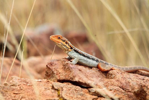 New dragon lizard from NSW
