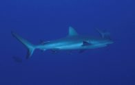 Grey Reef Shark at North Horn, Osprey Reef