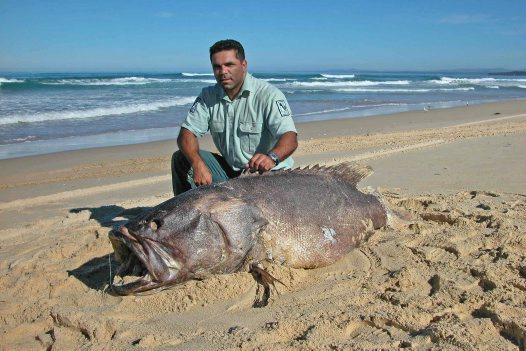 Queensland Groper on Bherwerre Beach