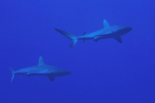Galapagos Sharks at South Horn