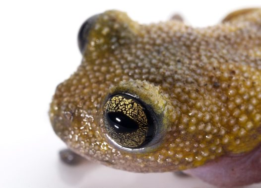 Thorny Tree Frog head