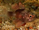 Southern Cardinalfish at Edithburgh Jetty