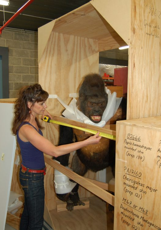 U-haul Gorillas - Packing Primates for a Big Move #4