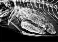 X-ray of Checkered Snapper gut contents