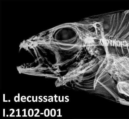 Checkered Snapper - x-ray of head
