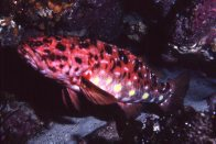 Harlequin Fish at Snug Cove