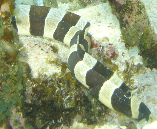 Harlequin Snake Eel at Coral Bay, Ningaloo Reef