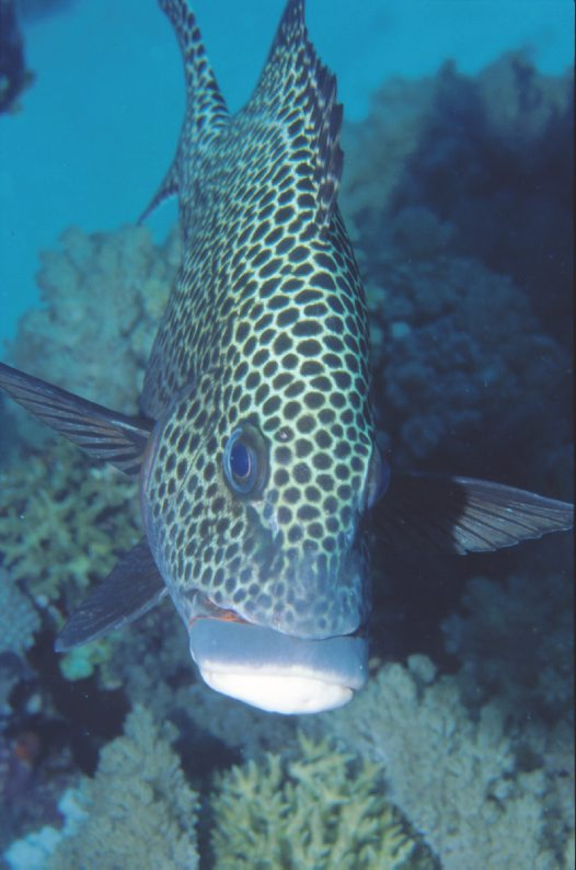 A Spotted Sweetlips at Raine Island