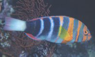 Harlequin Tuskfish at Wheeler Reef