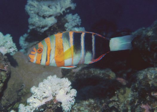 Harlequin Tuskfish at 'Davies Reef'