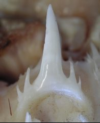 Tooth from a Sandtiger Shark