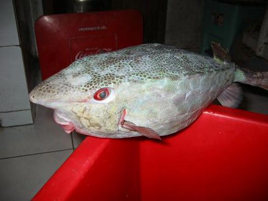 Horn-nose Boxfish caught in 2003