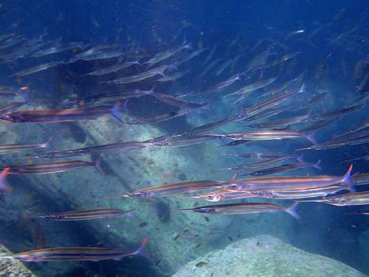 Eastern Sea Garfish in Cabbage Tree Bay