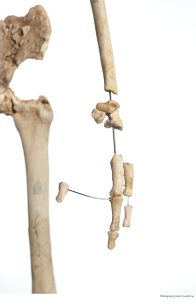 Homo floriensis skeleton display #1