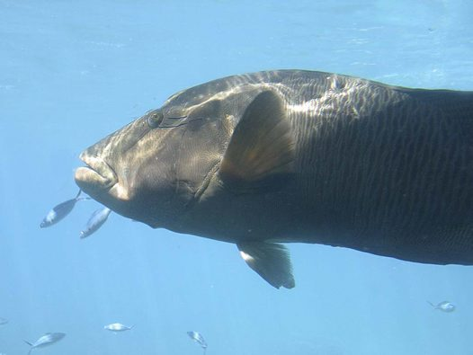 Humphead Maori Wrasse at 'Marine World'
