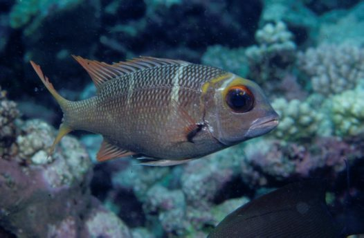 Bigeye Seabream at Osprey Reef