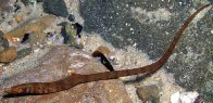 A Javelin Pipefish in a rockpool, Wollongong