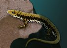 Eastern Water Skink Illustration