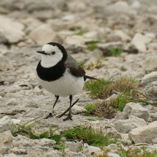 Night Talk: Islands in the City - the White Fronted Chat