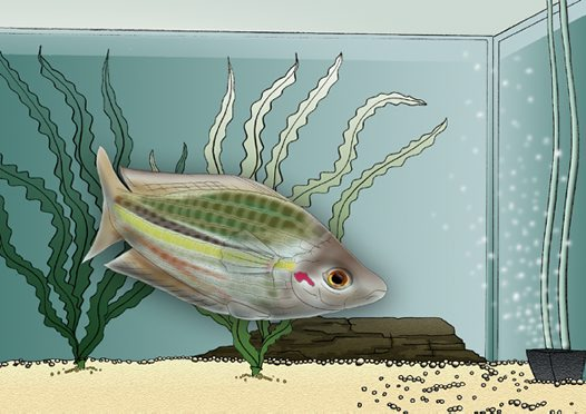Crimson-spotted Rainbow Fish Illustration