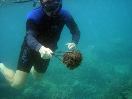 Crown of Thorns Starfish Threaten the Great Barrier Reef