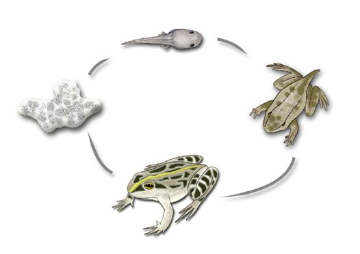 Spotted Marsh Frog Life cycle