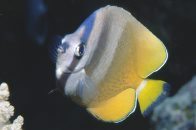 Klein's Butterflyfish at Horseshoe Reef