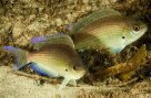 Gulf Damsels in the Gold Coast Seaway