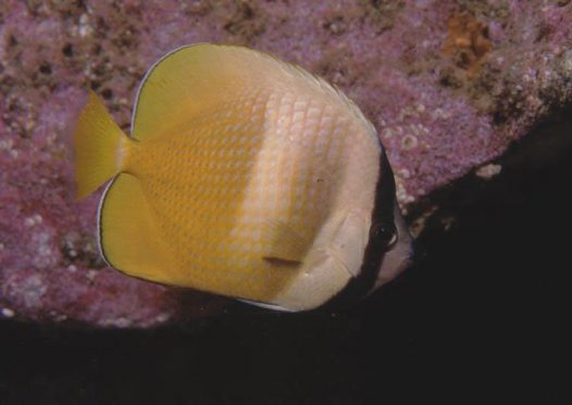 Klein's Butterflyfish at Fish Rock