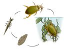 Diving Beetle life cycle