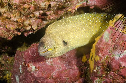 Yellowmouth Moray, Gymnothorax nudivomer