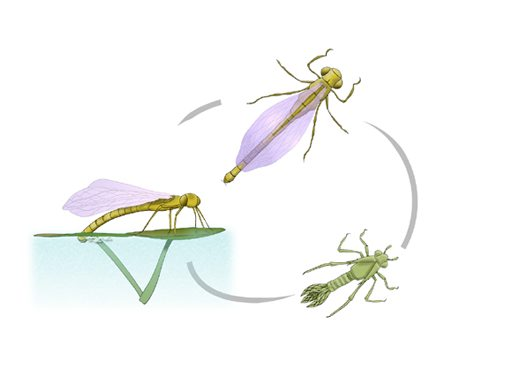 Damselfly life cycle