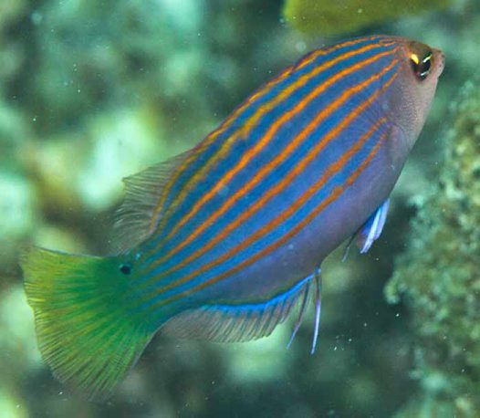Sixline Wrasse at Lizard Island