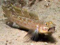 Hoese's Sandgoby at Fly Point
