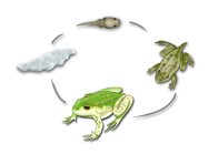 Green and Golden Bell Frog Life cycle