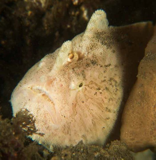 Striate Anglerfish - April 2014 (#4)